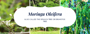 moringa, moringa oleifera, spinach tree,drumsticktree, healing foods