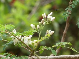 moringa, moringa flowers, moringa benefits,