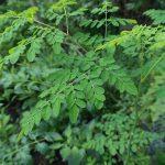moringa tree, drumstick tree,